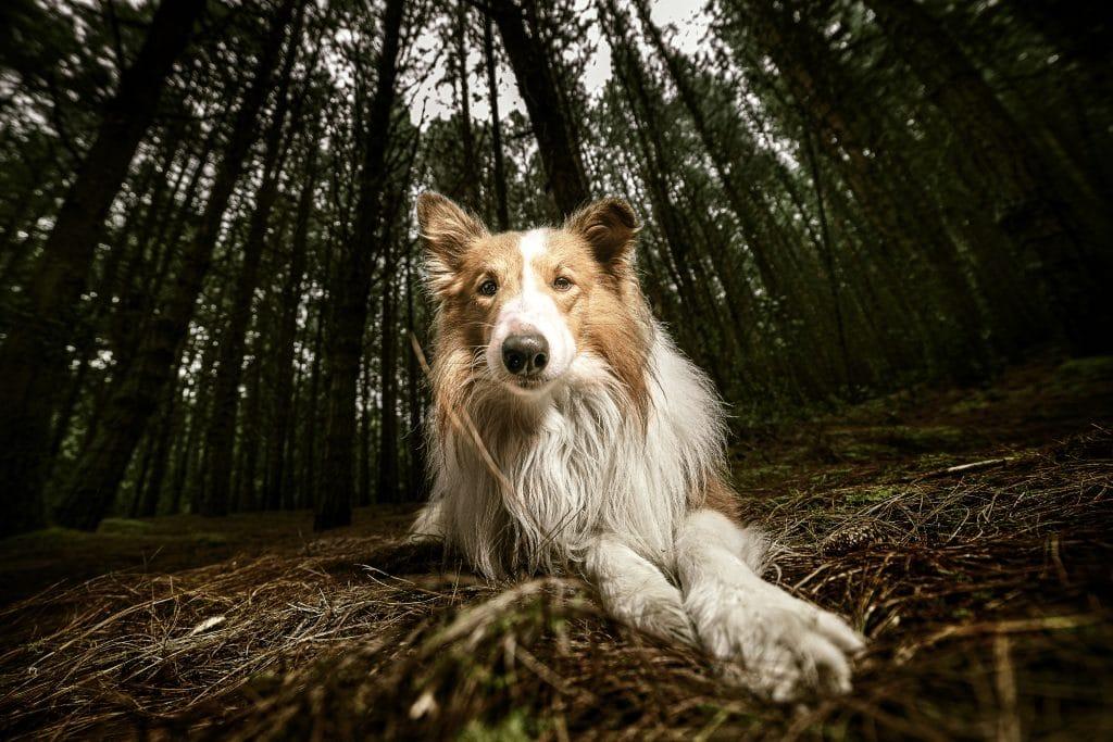 pastor colie - curso fotografía de perros